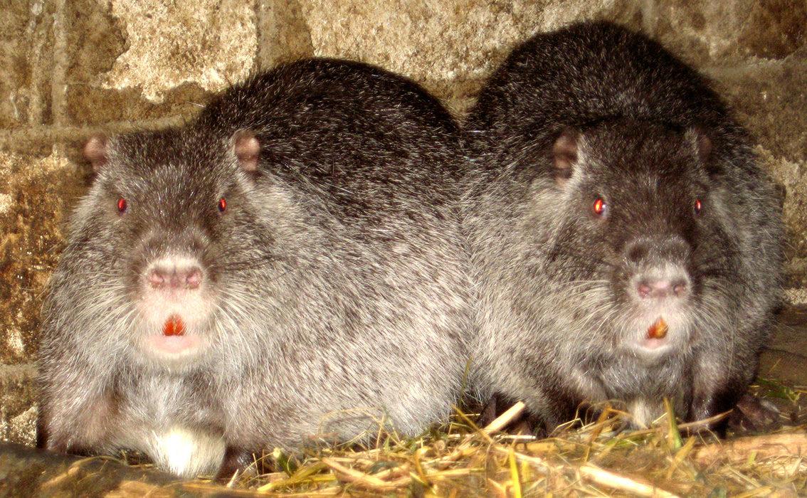 спаривание нутрий - самец и самка